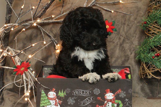 8 weeks  Christmas Shots 49246